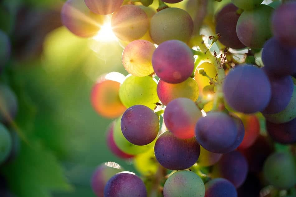 grapes for making red wine